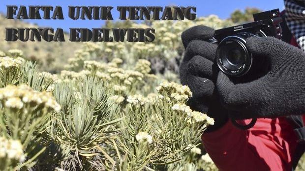 Fakta Unik Tentang Bunga Edelweis
